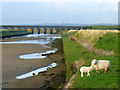 SH4068 : A sheep and a lamb near the River Cefni by Nigel Williams