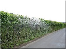 TQ8959 : Cocooned hedge, Bottom Pond by Penny Mayes