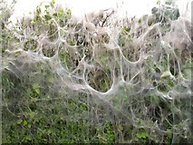 TQ8959 : Tent caterpillar web by Penny Mayes