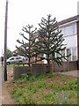 SP8867 : Small Garden with Two Monkey Puzzle Trees by Kokai