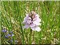 NG4924 : Orchid in Glen Sligachan by John Allan