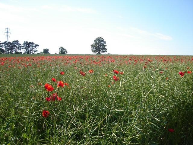Poppy Field, near Mixbury