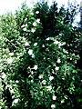 SP6804 : Dog Roses by Rob Farrow