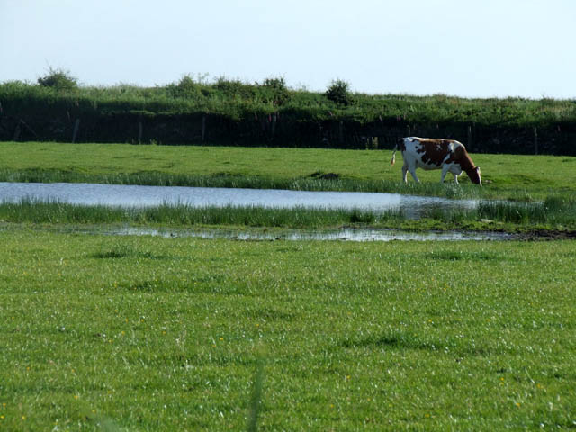 Cow grazing near to small pond