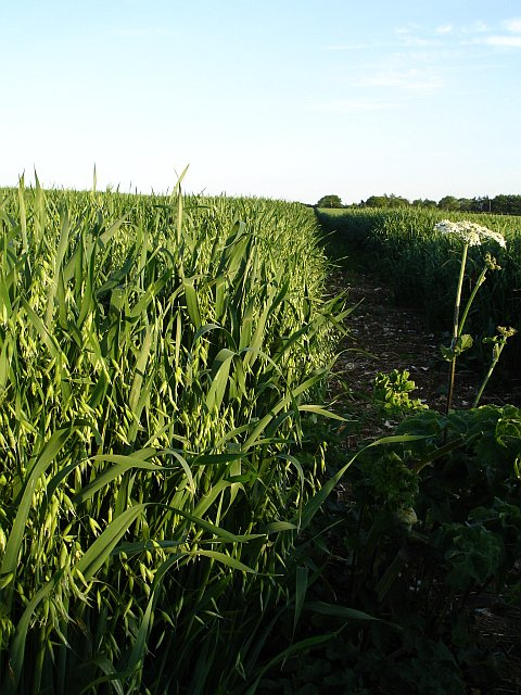 Footpath through the oats