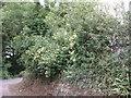 SW6334 : Honeysuckle near Tregear by Sheila Russell