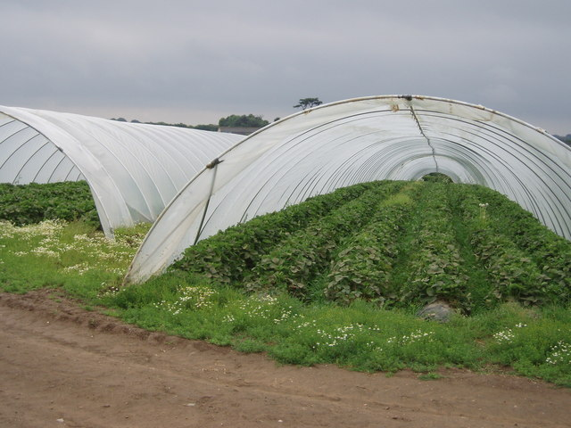 Strawberry plants in polytunnels