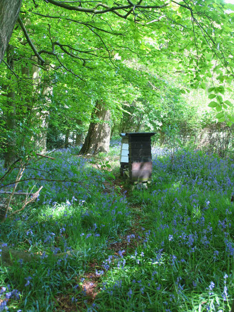 Bluebells and Beehives in Jane's Wood , Nr. Piddington