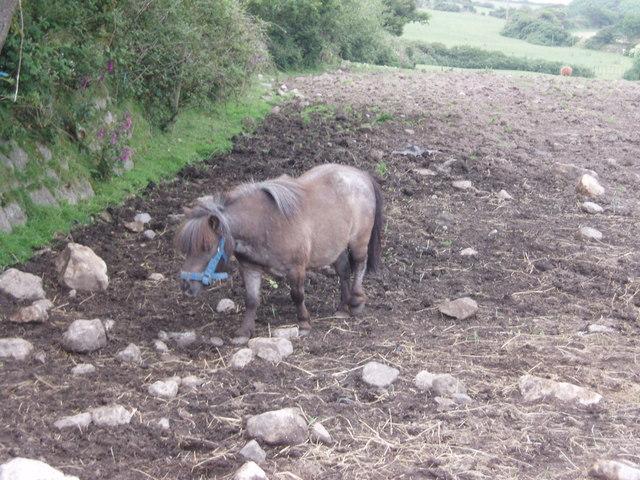 Small shetland pony near Porkerris