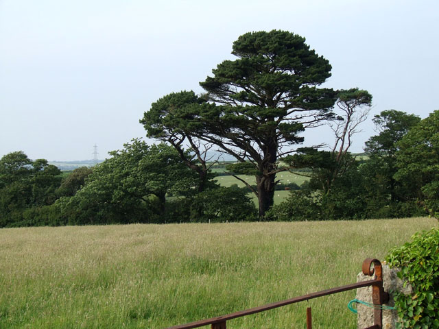 A large tree bordering a field