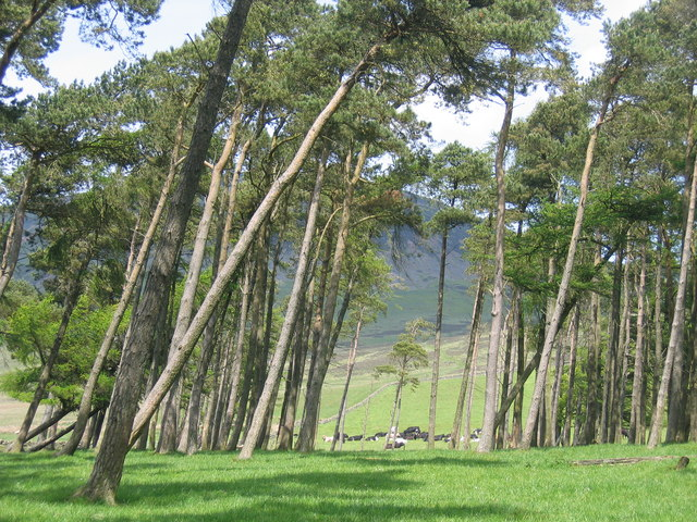 Scots Pines and Cattle below Tinto
