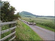 NS0853 : Bute,Sheep by william craig