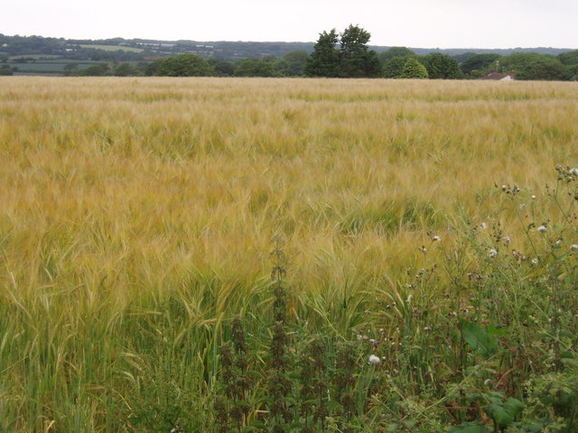 Barley field near Pengelly Barton