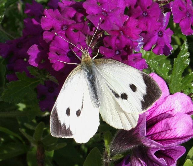 Large White Butterfly (Pieris brassicae)