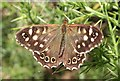 NJ3159 : Speckled Wood Butterfly (Pararge aegeria) by Anne Burgess