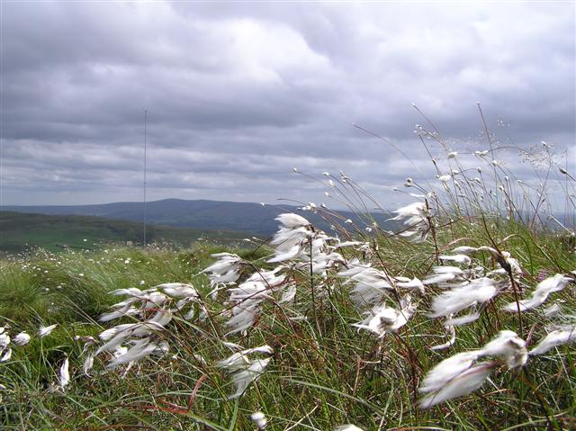 Bog cotton on Owenreagh Hill