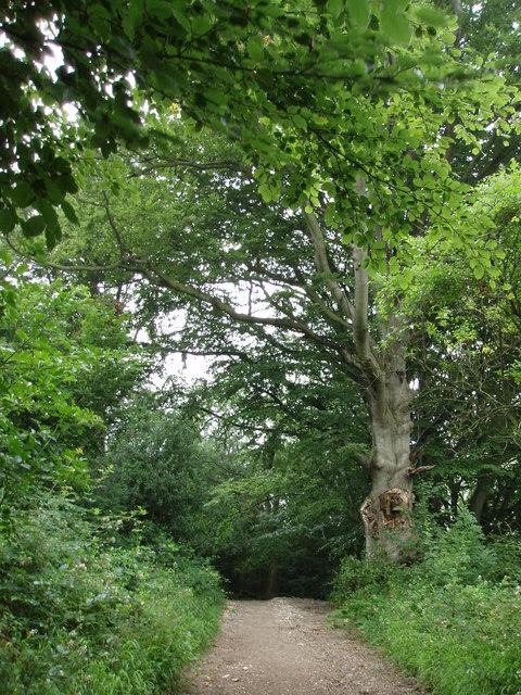 Woodland track; Wolstonbury Hill by Sheila Russell