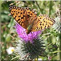 NJ2666 : Small Pearl-Bordered Fritillary Butterfly (Boloria selene) by Anne Burgess