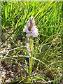 NN6167 : Moorland spotted orchid, near Loch Garry by Rob Burke
