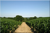 SY1192 : East Devon Way through the maize, near White Cross, Ottery St Mary by Kevin Hale