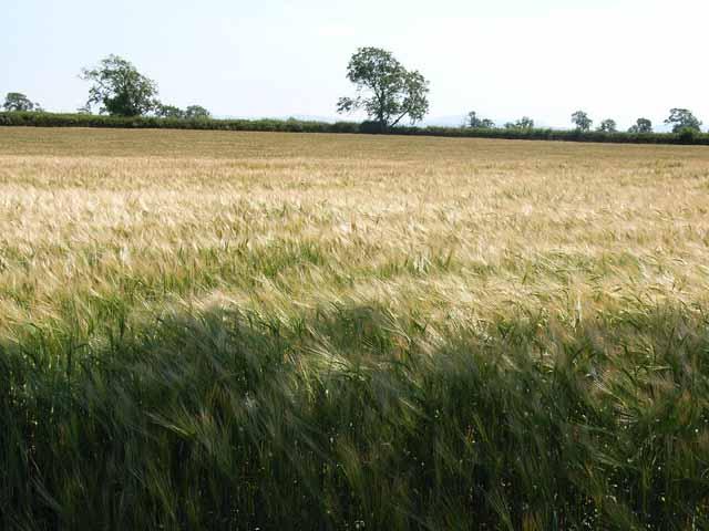 Ripening barley, near Little Bampton