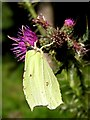 SU3105 : Brimstone on a thistle, Parkhill Inclosure, New Forest by Jim Champion