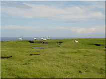 NB5647 : Sheep on the Aird by Donald Lawson