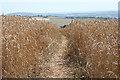 SS7702 : Crediton Hamlets: footpath through wheat field by Martin Bodman