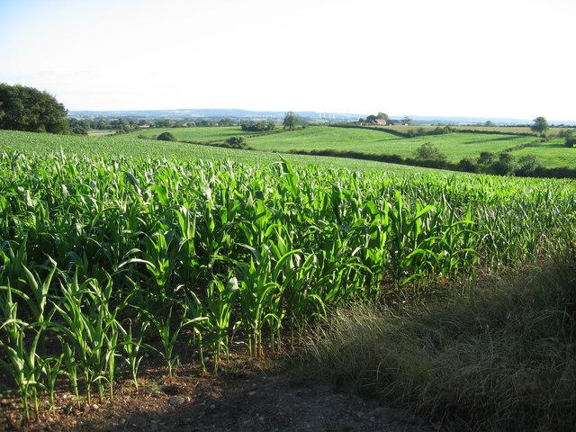 Fields of maize near Newborough, Staffordshire.