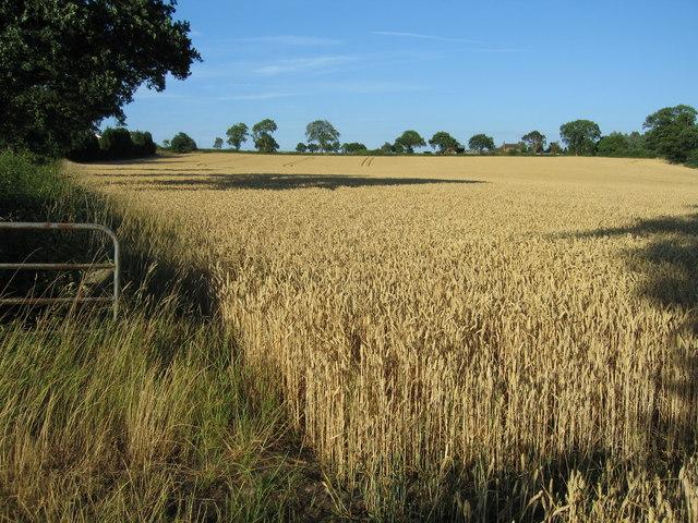 Field of wheat near Newborough, Staffordshire.