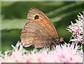 NO7048 : Meadow Brown Butterfly (Maniola jurtina) by Anne Burgess