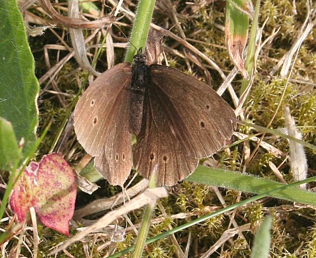 Ringlet Butterfly (Aphantophus hyperantus)