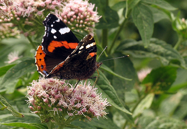 Butterfly at Tintagel