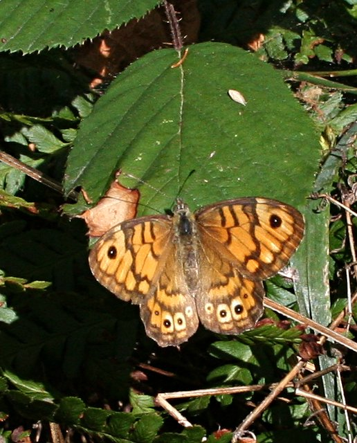 Wall Brown Butterfly on a Bramble Leaf