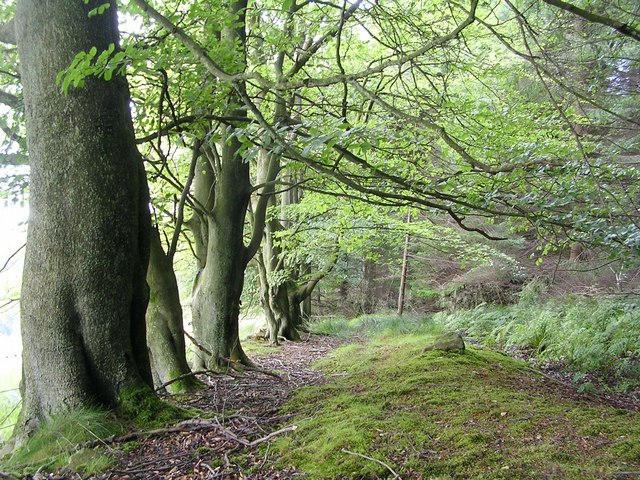 Beech Trees in Barhill Wood