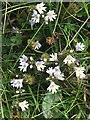NJ6365 : Eyebright (Euphrasia officinalis) by Anne Burgess