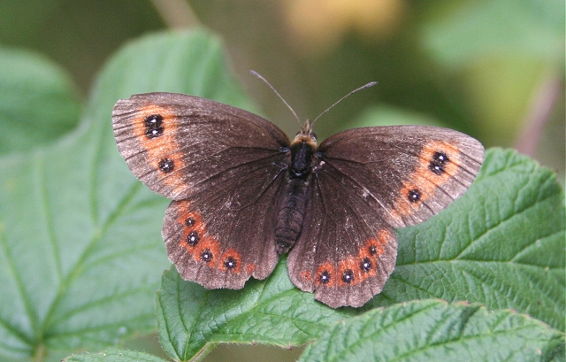 Scotch Argus Butterfly (Erebia aethiops)