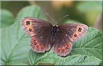 NJ3165 : Scotch Argus Butterfly (Erebia aethiops) by Anne Burgess