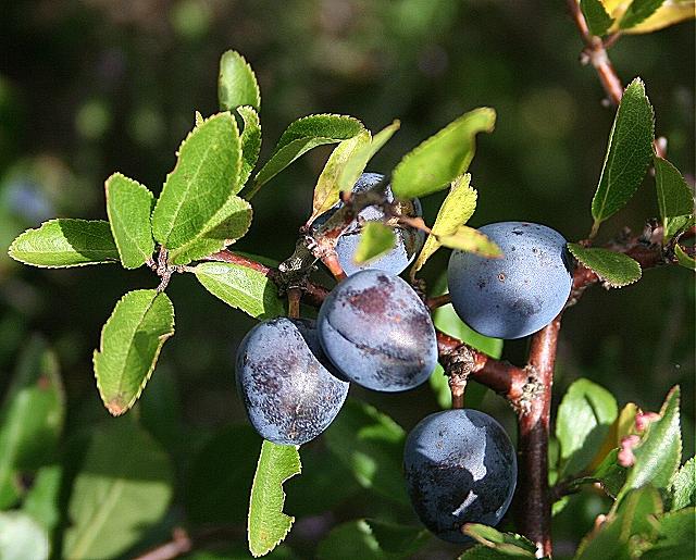 Sloes (Prunus spinosa)