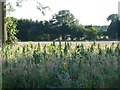 TQ8556 : Sunflowers on the Downs by Penny Mayes