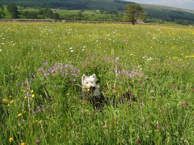 Hay Meadow Askrigg Bottoms