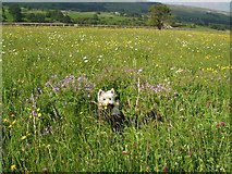 SD9490 : Hay Meadow Askrigg Bottoms by Alan McDonald