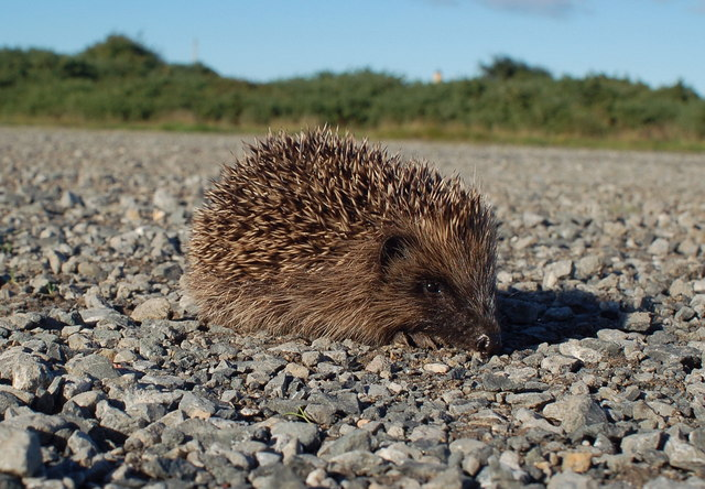 Hedgehog at Turnberry