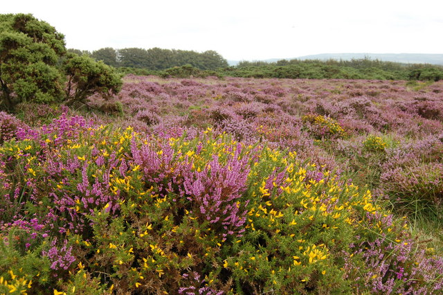 Heather and Gorse on Kitnor Heath