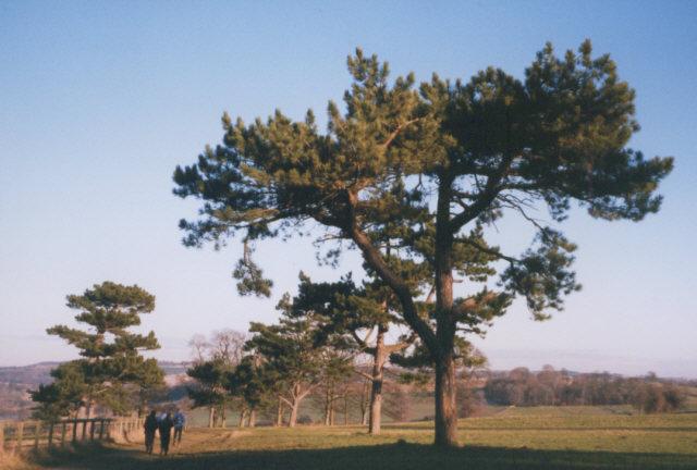 Avenue of pine trees
