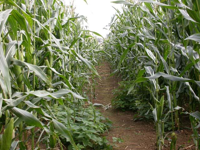 Footpath through Maize