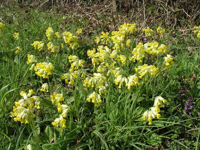 Oxlips (Primula elatior), Southwater Country Park