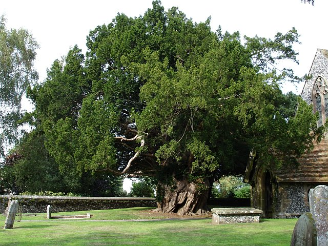What Degrees Is It Outside >> Ancient yew tree © Penny Mayes :: Geograph Britain and Ireland