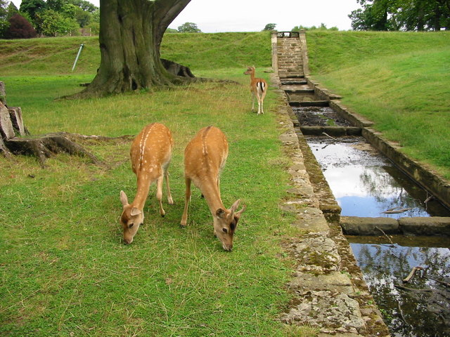 Deer near water feature at Whitworth Hall Co Durham