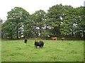 NS9294 : Cattle, Gartmorn by Richard Webb